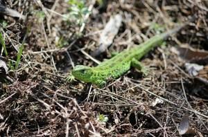 Зелёная ящерица на сухой траве