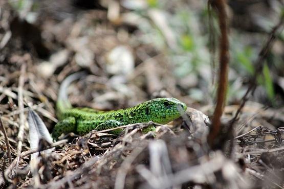 Зелёная ящерица прижалась к земле