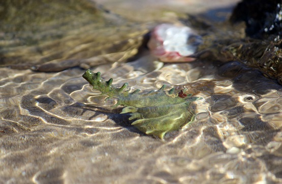 Колбообразная ракушка в прозрачной воде персидского залива