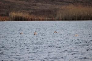 Лебеди на пруду осенью