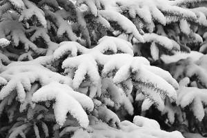 Ели присыпало снегом