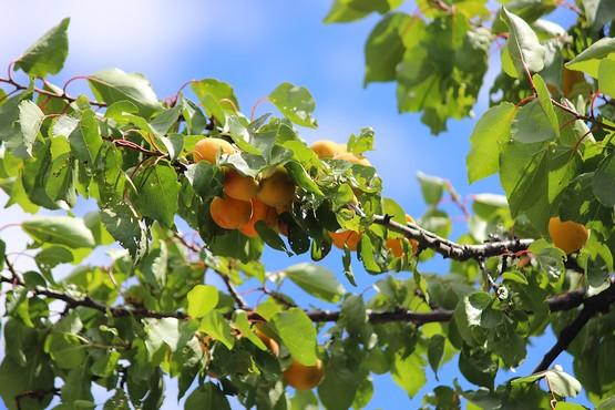 Поспевающие абрикосы на ветке