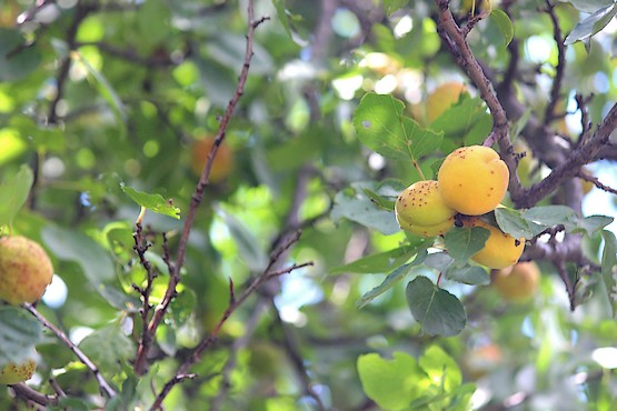Три абрикосы на ветке