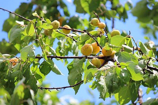 Ветви со спелыми абрикосами