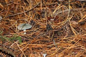 Серый гриб в окружении шишек