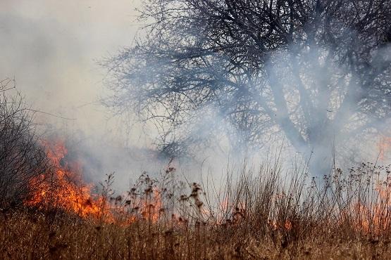Дикая груша в дыме пожара