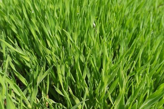 Красота первой зелени на полях