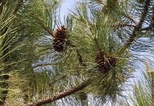 Шишки вечнозелёного дерева