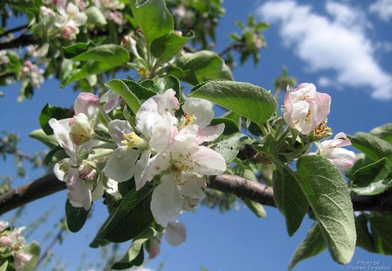 к чему цветет яблоня осенью приметы только мозг