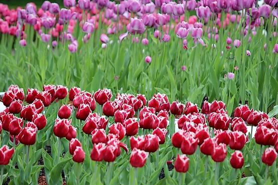 """Картинки по запросу """"парад тюльпанів харків екопарк"""""""